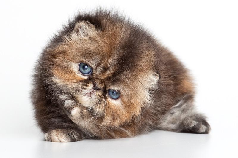 gato exótico pelo corto